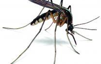 20 august: Ziua mondială a țânțarilor