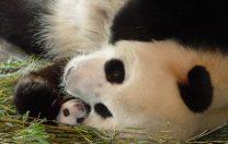 9 septembrie 1963: Primul pui de panda născut în captivitate