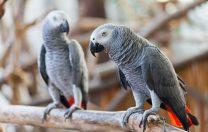 O grădină zoologică a separat cinci papagali unii de alții, pentru că se încurajau reciproc să înjure