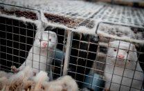 Danemarca renunță la sacrificarea celor 15 milioane de nurci, care ar răspândi o mutație SARS-CoV-2