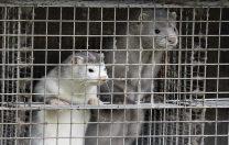 Autoritățile din Danemarca vor sacrifica 15 milioane de nurci pentru a opri o mutație a SARS-CoV-2